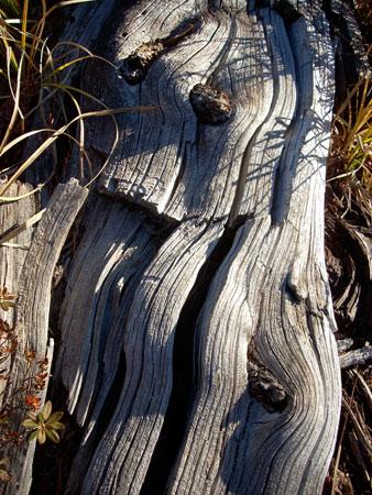 wavytree